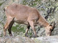 Серна. Семейство антилоп