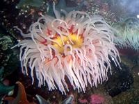 Морская актиния