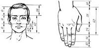 Золотое сечение в анатомии